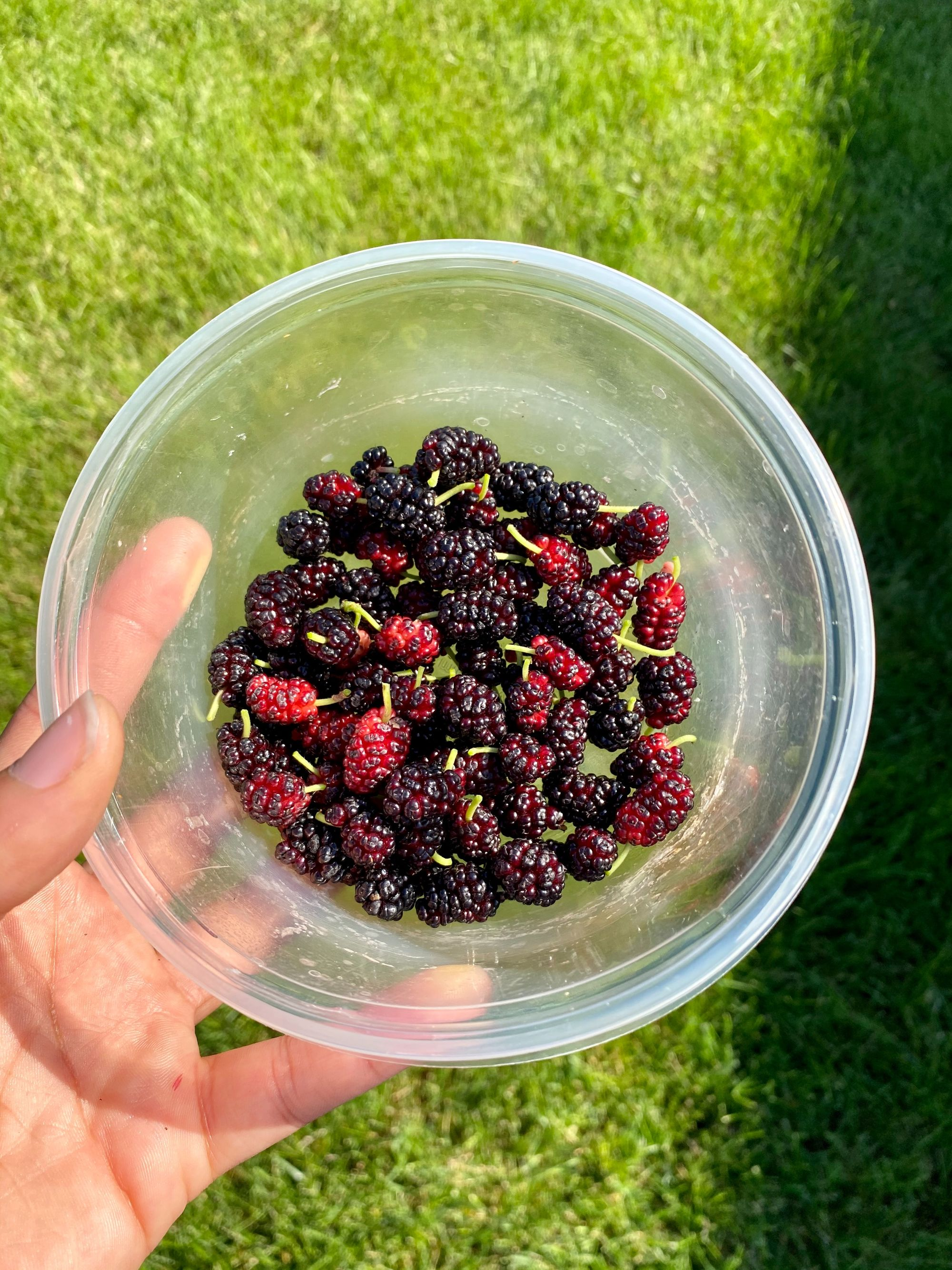 mulberry herbal tea anti-diabetic