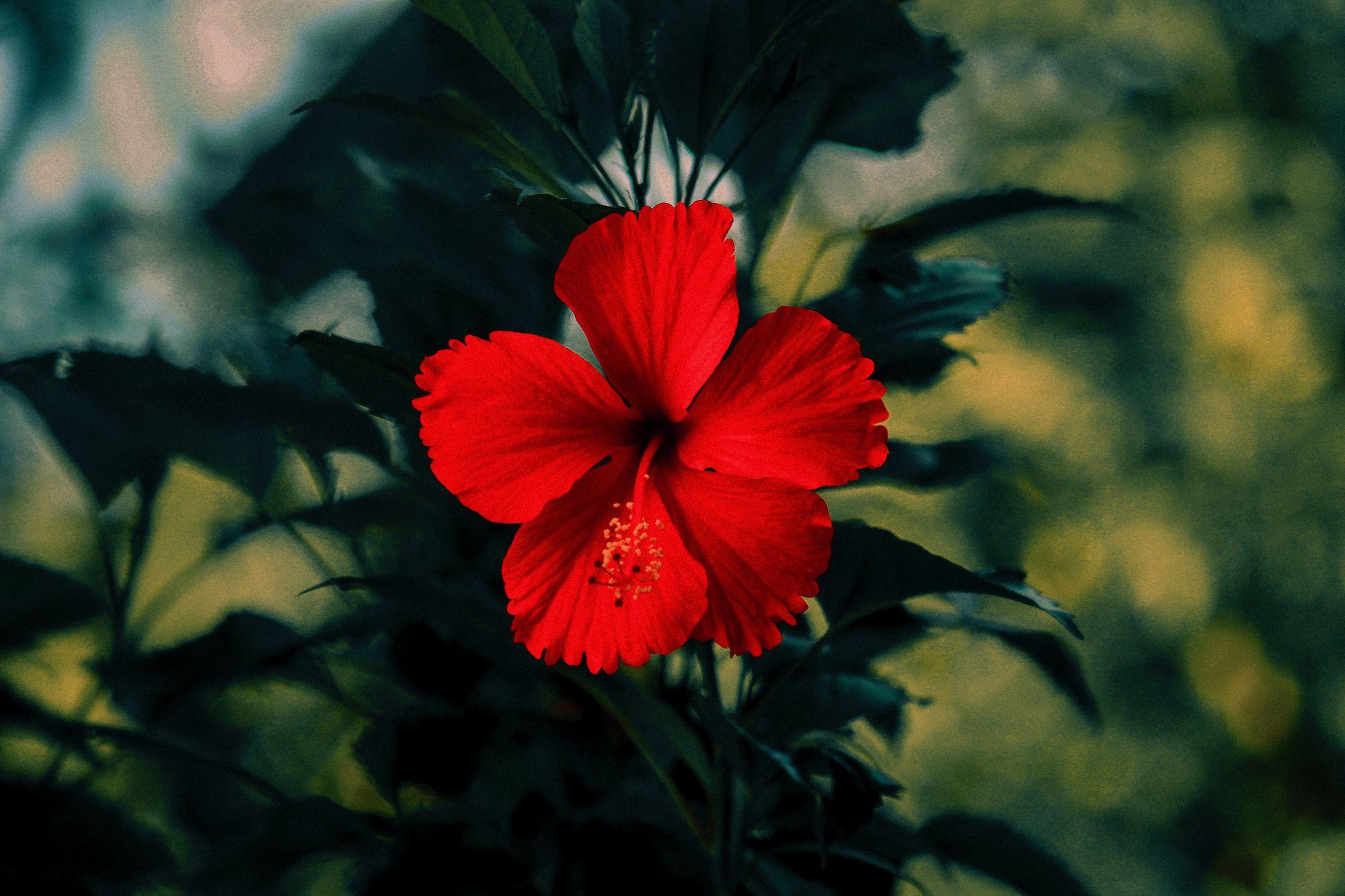 hibiscus tea herbal